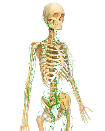 lymph system - Support Your Immunity with Kaiut Yoga